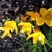 daffodil Avatar