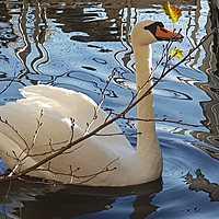 swanwing Avatar