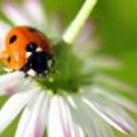 ladybugs Avatar