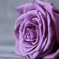 rose75 Avatar