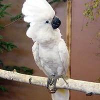 weißerkakadu Avatar