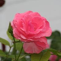 rosenfreund Avatar